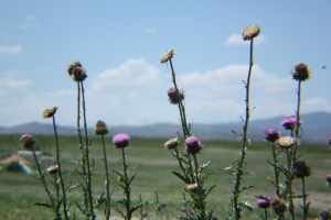 The thistles came out and brought gold finches and meadow larks as we waved good by to Mr. C and Piper.