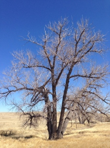 Cottonwood on the edge of the dry creek